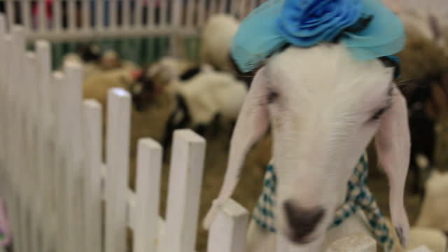 goat in farm - dairy product stock videos & royalty-free footage