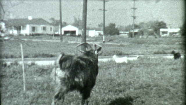 Goat in Los Angeles 1930's