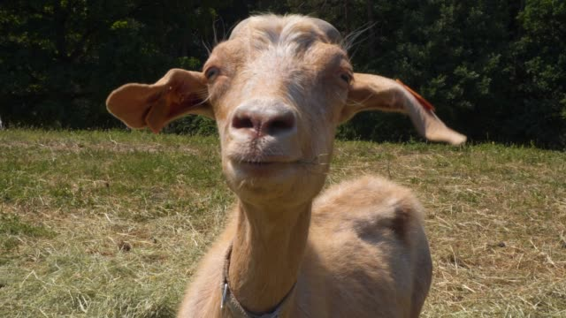 goat in the pasture - animal head stock videos & royalty-free footage