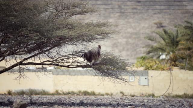 vídeos y material grabado en eventos de stock de goat in tree eating - omán