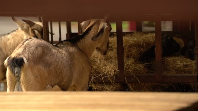 goat is eating grass - hay stock videos and b-roll footage