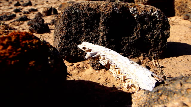 Goat jaw bone in the ground -Fuerteventura