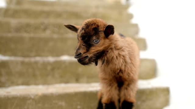 bleating ヤギの子供 - ヤギ点の映像素材/bロール