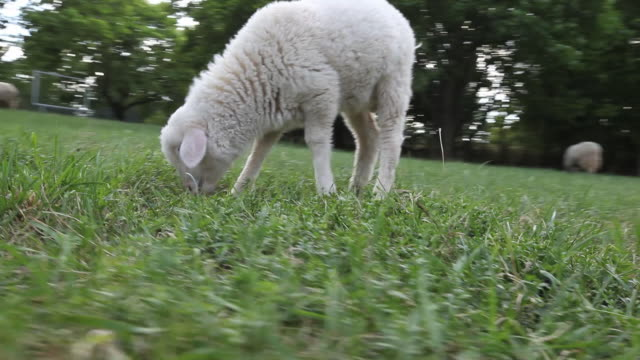 Goat kid grazing in field