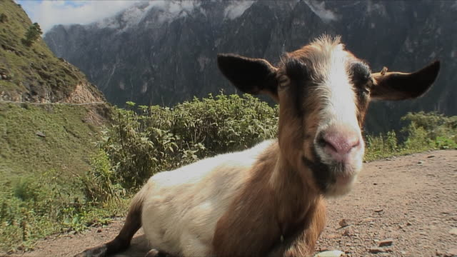 cu goat lying down and running away / tiger leaping gorge, china - goat stock videos and b-roll footage