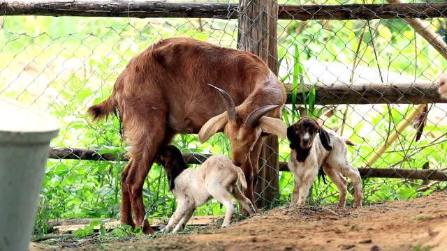 Ziege Mutter mit Milch füttern und reinigen ihr Zwilling Neugeborenes in lokalen farm