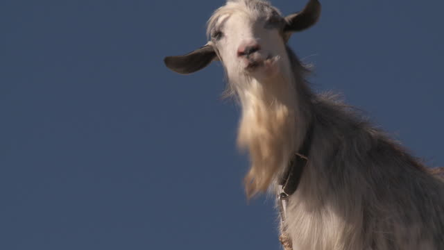 goat on blue sky - goat stock videos and b-roll footage