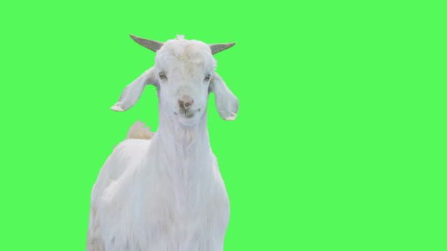 vídeos y material grabado en eventos de stock de goat on green screen - cabra mamífero ungulado