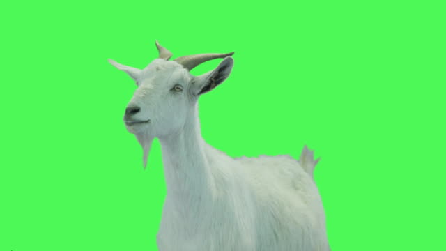 vidéos et rushes de goat on green screen - fond vert