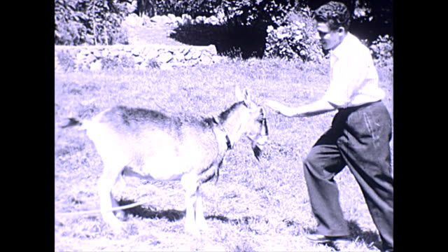goat plays with man - channel islands england stock videos & royalty-free footage