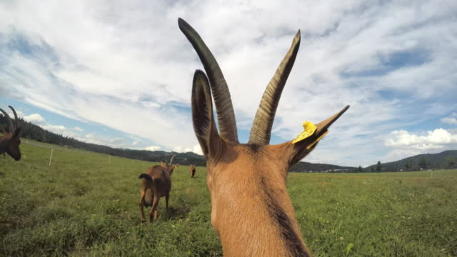 pov goat running onto a pasture - livestock tag stock videos and b-roll footage