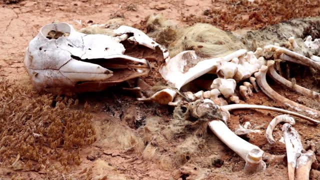 Goat skeleton -Fuerteventura