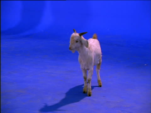 goat stands, chews then turns - chroma key video stock e b–roll