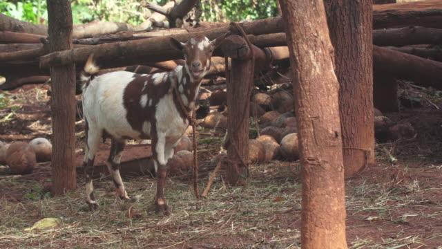 vídeos de stock e filmes b-roll de goat tied up - wiese