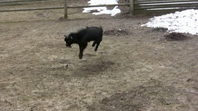 HD: goat