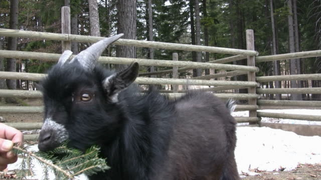 hd: goat - tame stock videos and b-roll footage