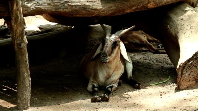 goat - sideways glance stock videos & royalty-free footage
