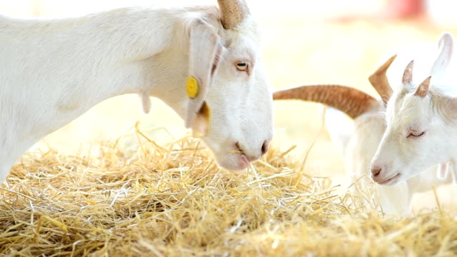 goat - goat stock videos and b-roll footage