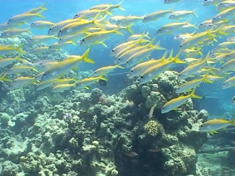 goatfish ms in large shoal - triglia tropicale video stock e b–roll