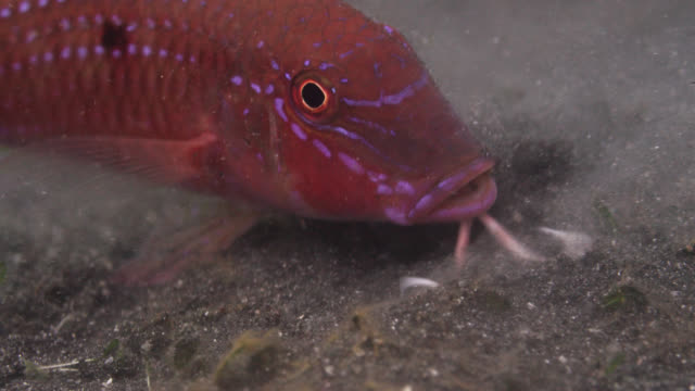 goatfish (parupeneus) uses barbels to forage on seabed, sulawesi, indonesia - barbel stock videos and b-roll footage