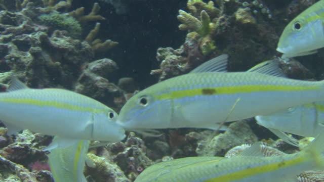 goatfish - goatfish stock videos & royalty-free footage