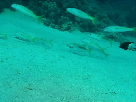 goatfish - triglia tropicale video stock e b–roll
