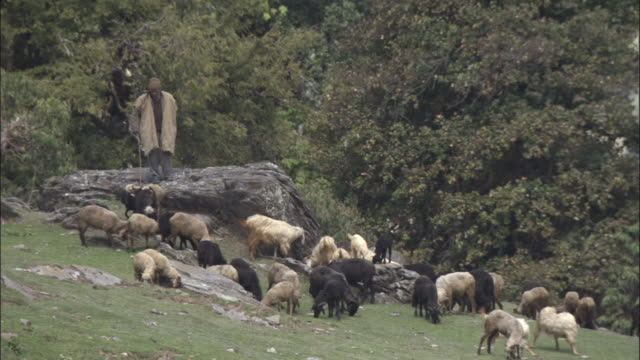 Goatherd with goats, Chopta, India Available in HD.