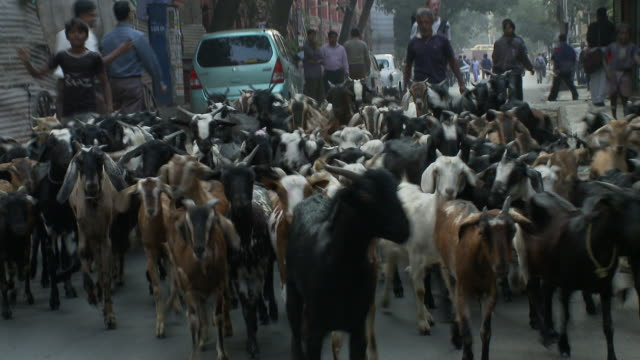 Goatherds lead their goats down a Calcutta street as cars attempt to pass.