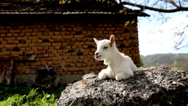 goatling (hd) - goat stock videos and b-roll footage