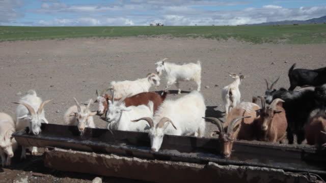 Goats and sheep farm in Gobi desert, Mongolia