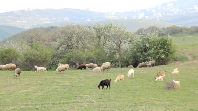 Goats and sheeps grazing on a meadow in the mountains