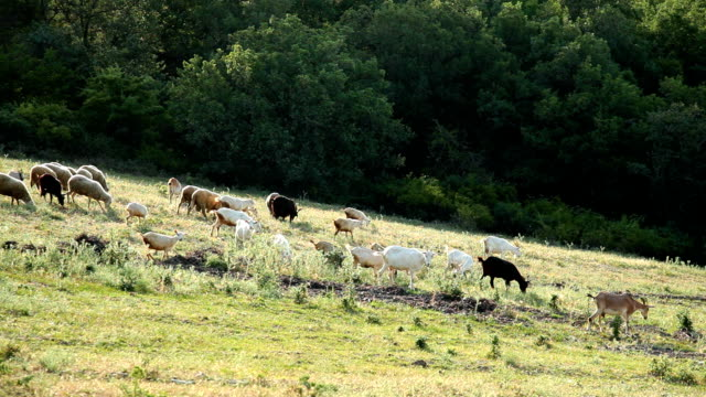 goats and sheeps grazing on a meadow - goat stock videos and b-roll footage
