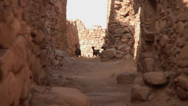 WS ZO Goats at Ouadane fort / Chinghetti, Adrar, Mauritania