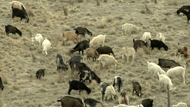 Goats clearing scrub for fire prevention