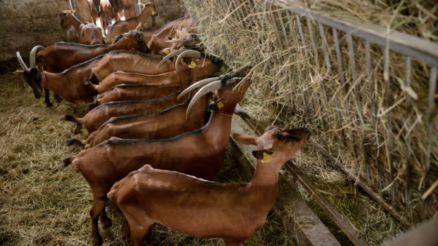 goats eating hay from the hay feeder in the barn - livestock tag stock videos and b-roll footage
