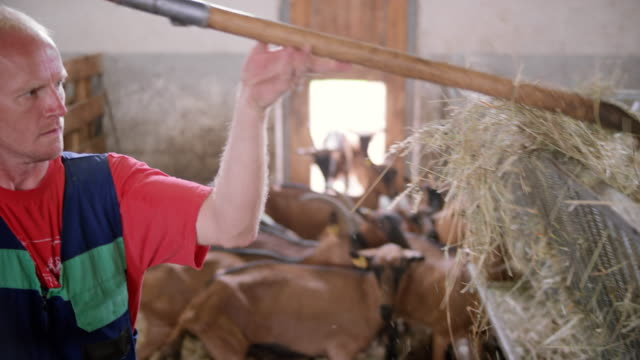 goats eating hay in the barn - pitchfork stock videos & royalty-free footage