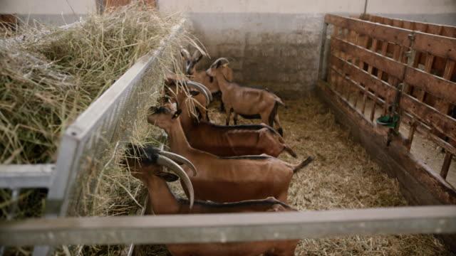 vídeos y material grabado en eventos de stock de cabras comiendo en el granero, mientras que el hombre les está lanzando más heno - bieldo equipo agrícola