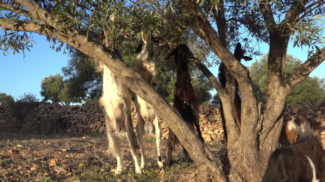goats eating leaves of an argania tree - reaching stock videos and b-roll footage