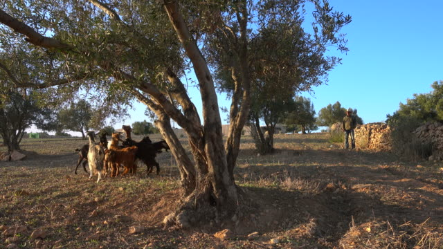 Goats eating leaves of an Argania tree