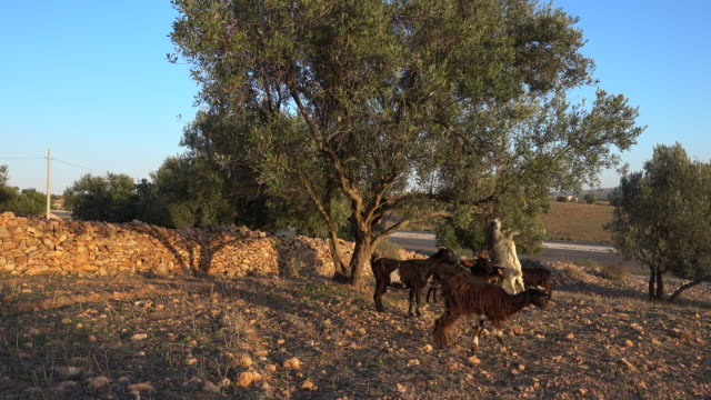 goats eating leaves of an arganil tree next to the road - reaching stock videos and b-roll footage