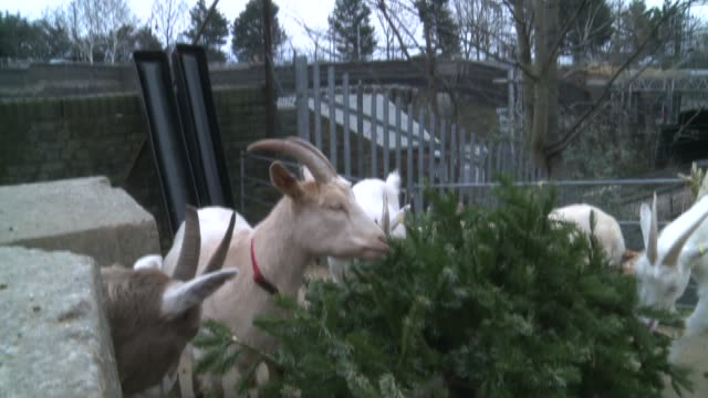 vídeos de stock e filmes b-roll de goats eating unwanted christmas trees; england: london: kentish town: kentish town city farm: ext general views of goats eating christmas trees and... - kentish town