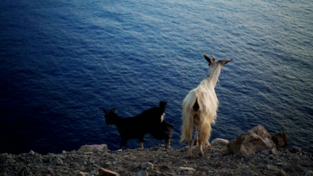 Goats enjoying the most beautiful view in the world