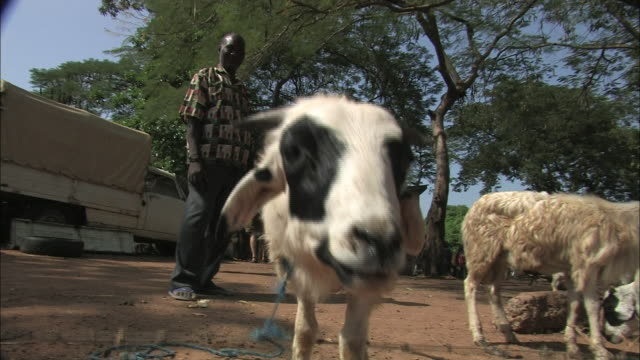 goats forage at an open air market in benin. - 食糧を捜す点の映像素材/bロール