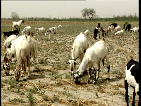 Goats forage on dry ground during a heatwave