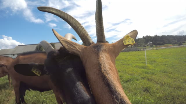 pov goats getting to know each other in the pasture - livestock tag stock videos and b-roll footage