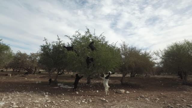 goats graze in an argan tree - goat stock videos & royalty-free footage