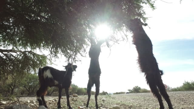 goats graze in an argan tree - goat stock videos and b-roll footage