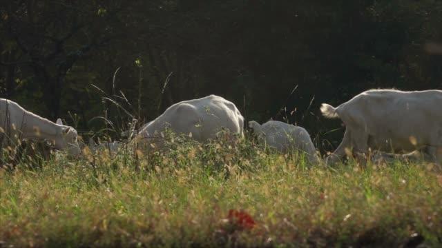 放牧草を食べるヤギ - シェーブルチーズ点の映像素材/bロール