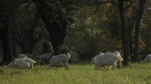 Cabras de pastoreo comiendo hierba