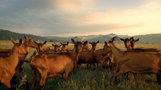 slo mo goats grazing in the pasture as the sun is setting - goat stock videos and b-roll footage